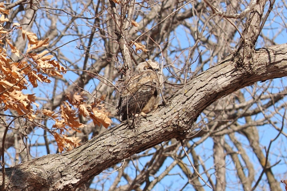great horned owlet camouflage