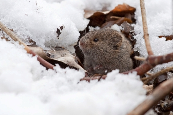 meadowvole-in-snow-Gerald Romanchuk