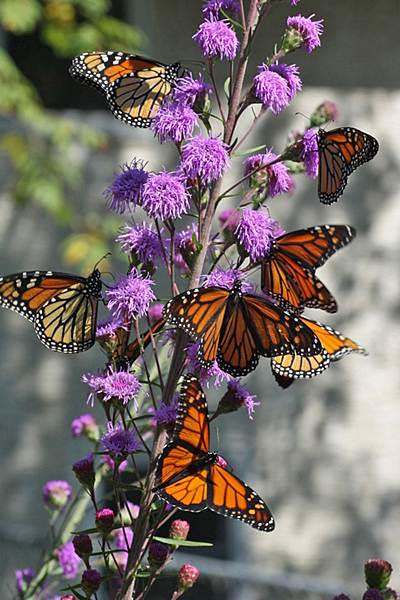 monarchs on blazing star-k_eckman