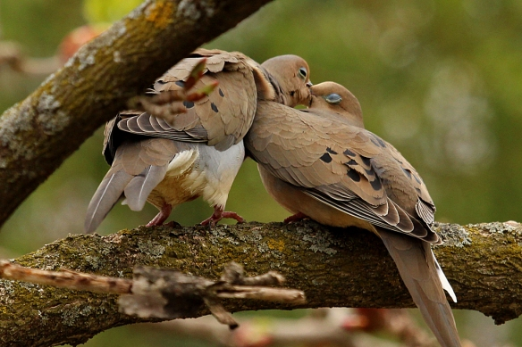 mourning dove billing