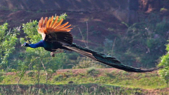 Peacock_Flying-Wikipedia copy