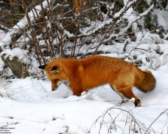 Red_fox_hunting,_US Fish and Wildlife Service