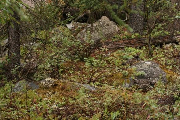 A male Ruffed Grouse drumming to attract attention in the fall stays hidden (left center) in the fall leaf litter and twigs.  Photo by Laura.