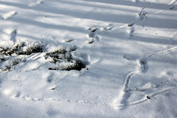 meadow vole and deer prints