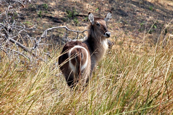 Waterbuck doe showing a 0 or an O on its rear
