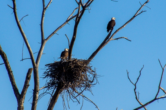 bald eagles at their prospective nest site