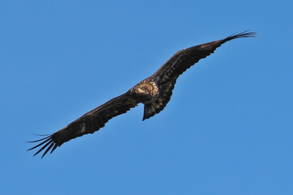 bald eagle-immature
