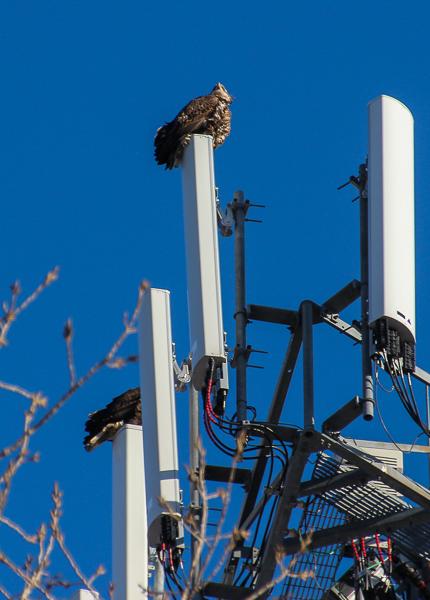bald eagles on transmission tower