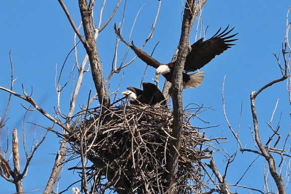 bald-eagles-at-the-nest