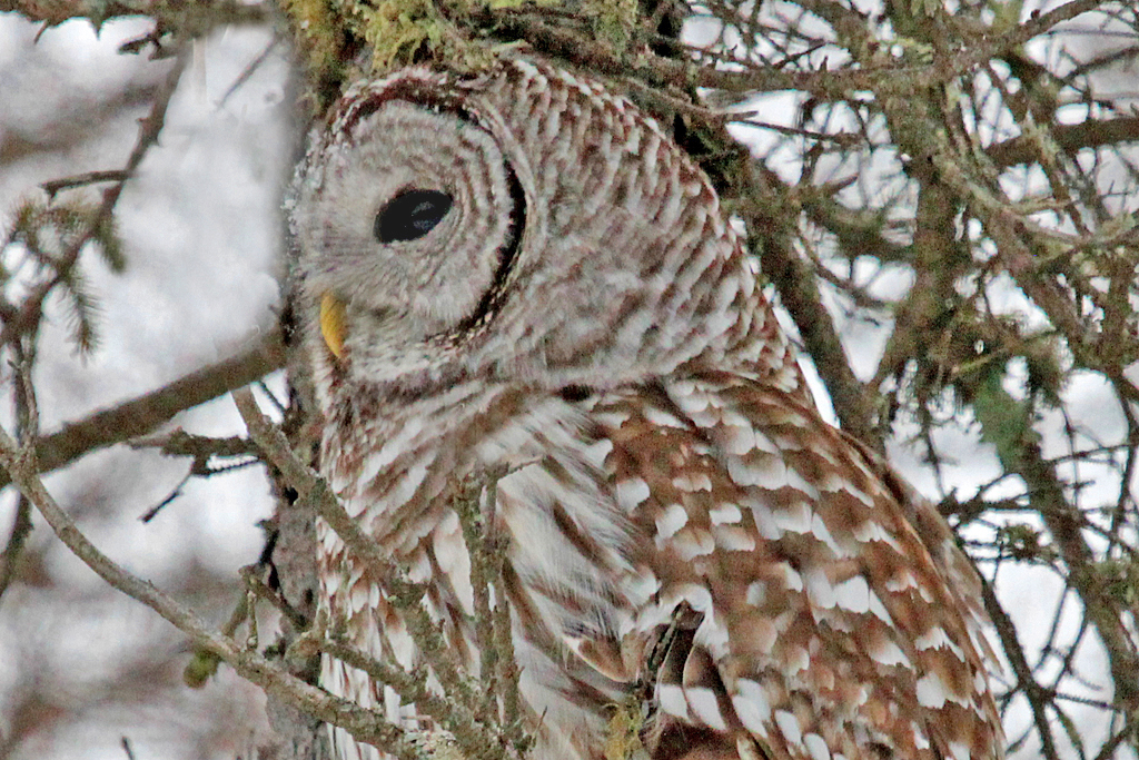 barred owl showing partially closed inner eyelid