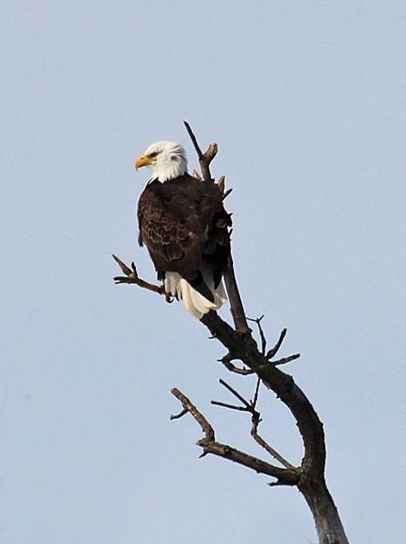 best-bald-eagle