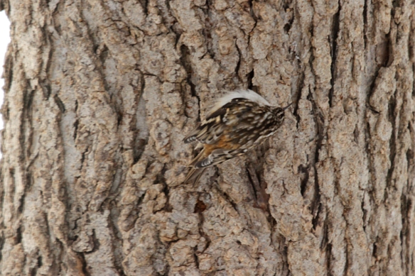 brown creeper camouflaged against the tree bark