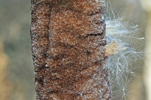 cattail seedhead
