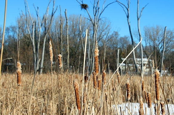cattails and eagle nest