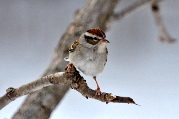 chipping sparrow in Minnesota in January