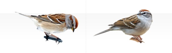 chipping vs tree sparrow plumage