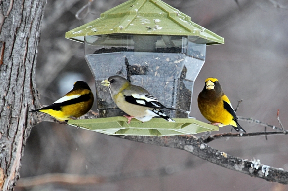 Evening Grosbeak male and female