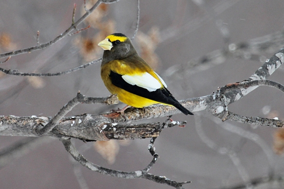Evening Grosbeak male