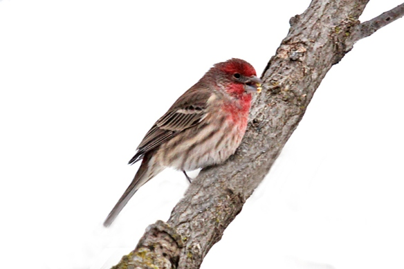 It can be difficult to tell them apart, but the raspberry color of the Purple Finch extends down its flanks, while the House Finch shows brown stripes in that region.  House Finches really are more red than raspberry and the bill is much thinner and shorter.