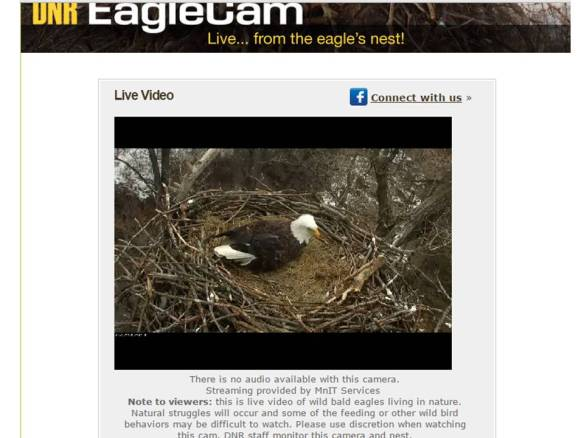 MN DNR webcam - Bald Eagle nest