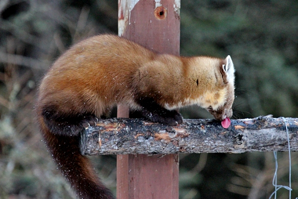 pine marten licking peanut butter from logs