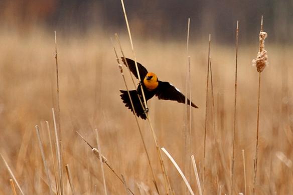 yellow-headed-blackbird