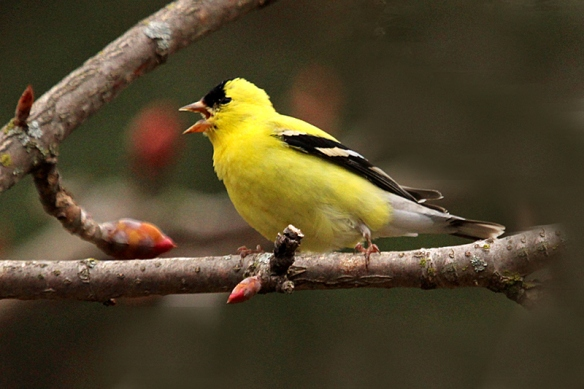 american-goldfinch-singing
