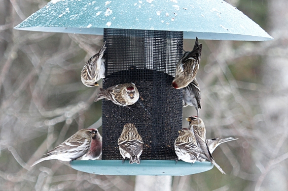 common redpolls at the feeder