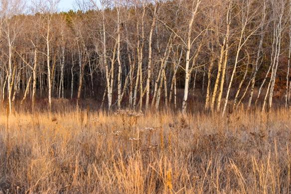 prairie-birch forest sunset