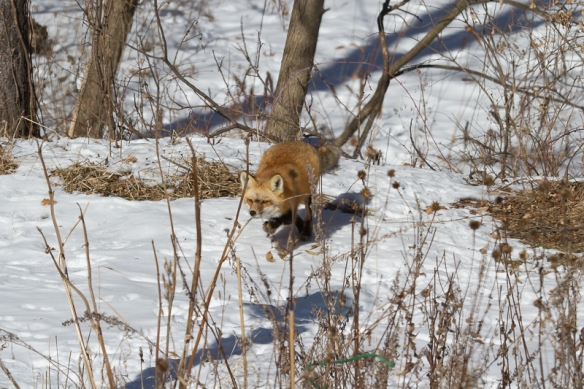red fox-stalking a squirrel