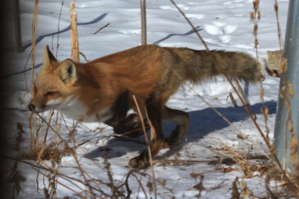 red fox-hunting squirrel