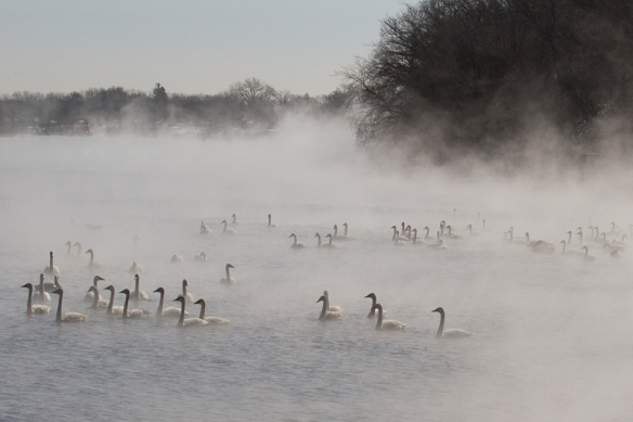 trumpeter swans in a foggy mist over the Mississippi River