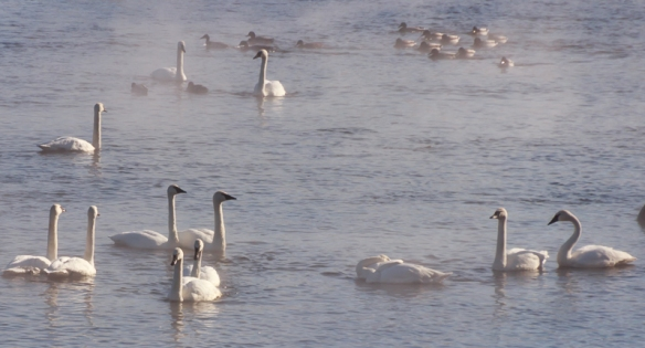 trumpeter swans at monticello minnesota