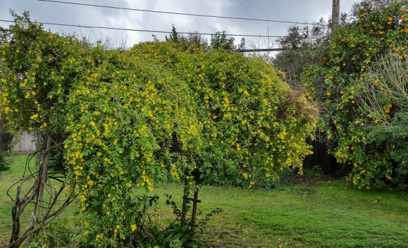 yellow flowering shrub