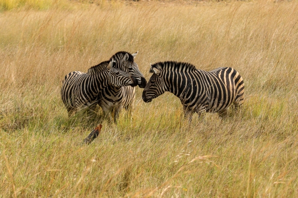 zebra stallion with mares