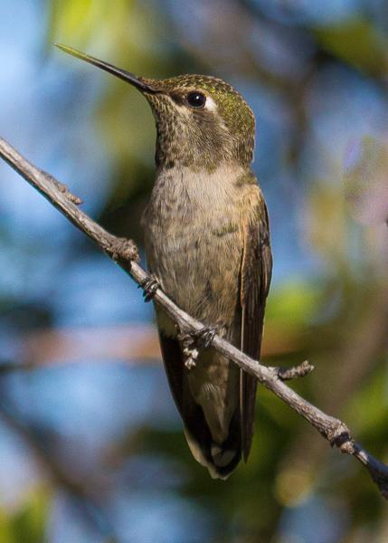 Male Vs Female Hummingbirds