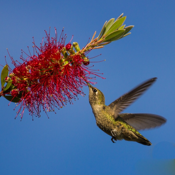anna hummingbird-feeding on bottlebrush