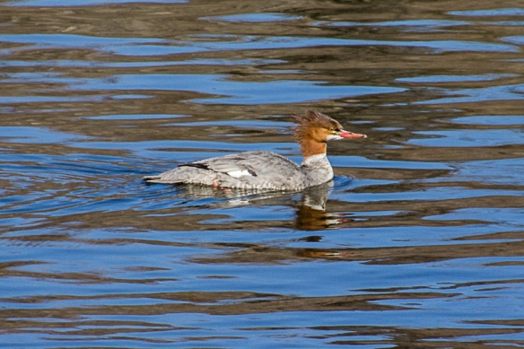 And now in this view, I'm certain it is a female Common Merganser from the little white chin patch and yellowish eye color.