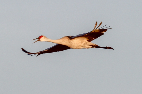 Sandhill crane flying and calling