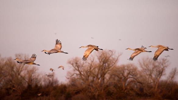 Sandhill cranes at sunrise on the Platte River, Alda NE