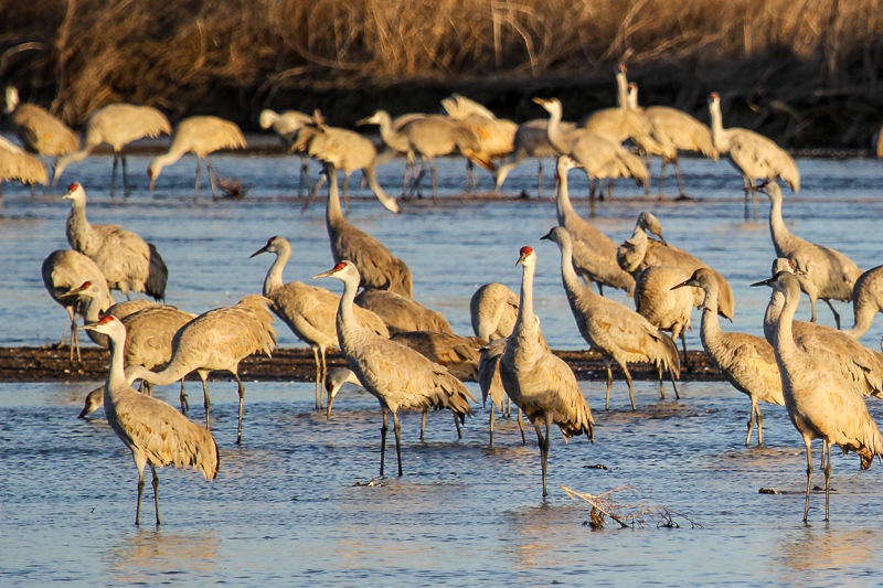 Sandhill cranes at sunrise-