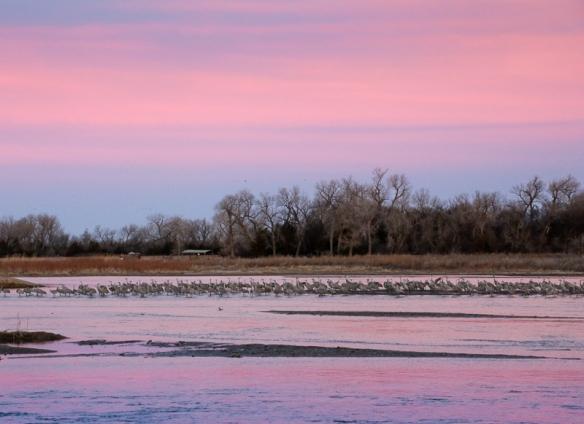 Sandhill cranes on the Platte River, Alda NE