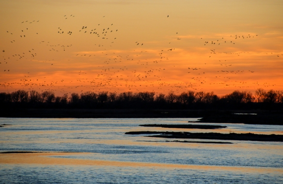 Sandhill Cranes flying back to the river at sunset
