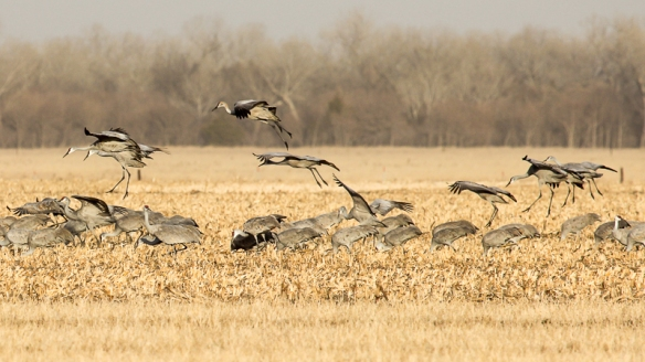 Sandhill Cranes flying and feeding