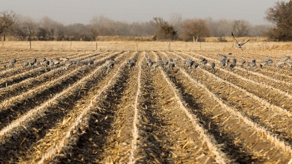 Sandhill Cranes feeding in corn stubble
