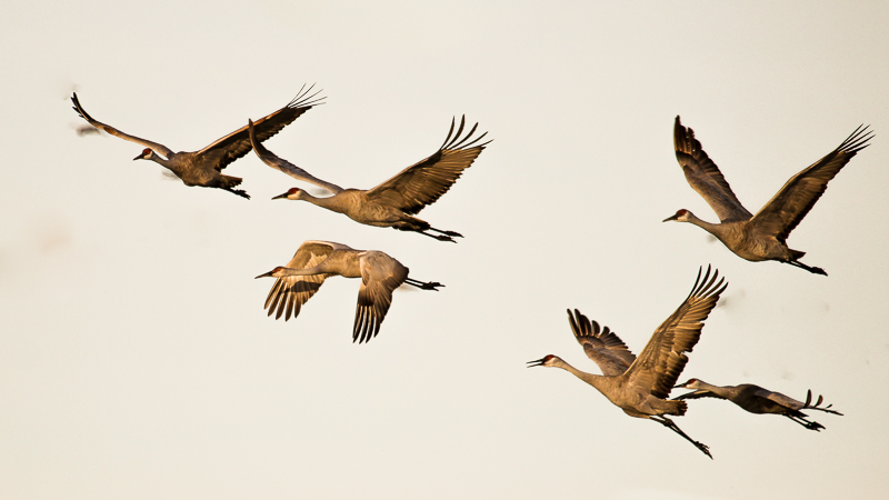 Sandhill Cranes flying to crop fields to feed
