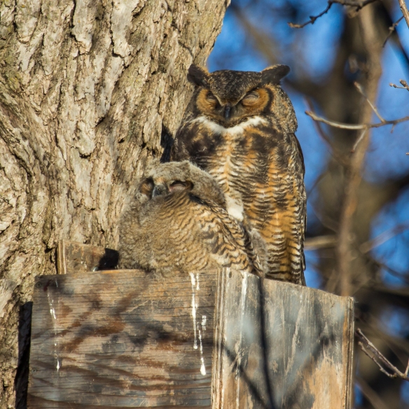 Great Horned Owl female and chick