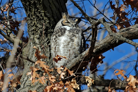 great-horned-owl-male