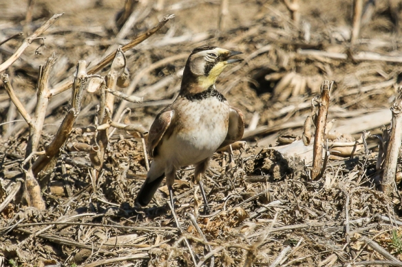 Horned Lark panting on a hot day