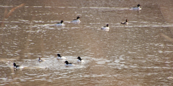 male-common-mergansers-escorting-female